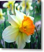 Daffodil 2 Metal Print