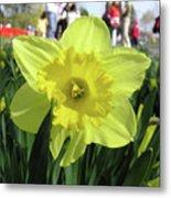 Daffodil Close Up Metal Print by Richard Mitchell