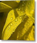 Daffodil Dew Metal Print