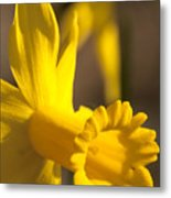 Daffodil Yellow Metal Print