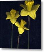 Daffodilia II Metal Print