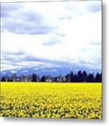 Daffodils By The Million Metal Print