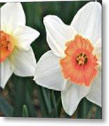 Daffodils Orange And White Metal Print