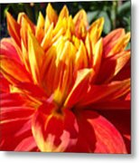 Dahlia Florals Orange Dahlia Flower Art Prints Canvas Metal Print