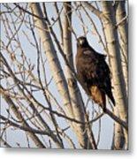 Dark-morph Western Red-tailed Hawks Metal Print
