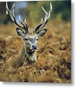 Deer Rests In Bracken Metal Print