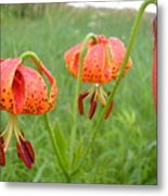 Dew Covered Tiger Lilies Metal Print