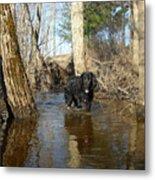 Dog Wading In Swollen River Metal Print