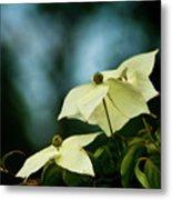 Dogwood Flowers In Streaming Blue Light Metal Print