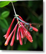 Dragonfly On Honeysuckle Metal Print