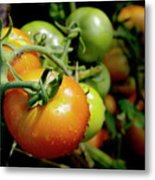 Drops On Immature Red And Green Tomato Metal Print