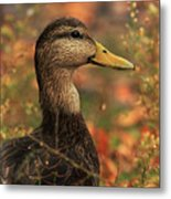 Duck In Autumn Metal Print
