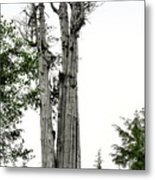 Duncan Memorial Big Cedar Tree - Olympic National Park Wa Metal Print by Christine Till