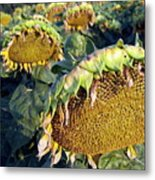 Dying Sunflowers In Field Metal Print