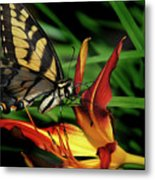 Eastern Tiger Swallow Tail Butterfly Metal Print