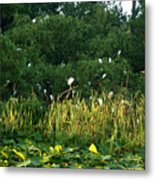 Egrets Nesting Metal Print