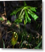 Emerging Mayapples Buffalo National River Metal Print