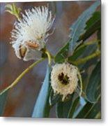 Eucalyptus Bloom Metal Print