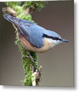 European Nuthatch Metal Print