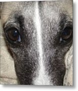 Eyes Whippet Metal Print