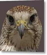 Falcon Eye II Metal Print