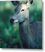 Fallow Deer Fawn Metal Print