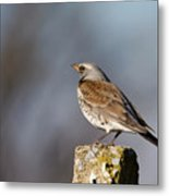 Fieldfare Watching  Metal Print by Cliff Norton