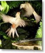 Finch Spat Metal Print