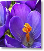 First Crocus Metal Print