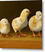 Five Chicks Named Moe Metal Print