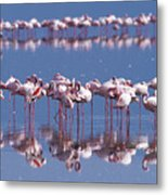 Flamingo Reflection - Lake Nakuru Metal Print