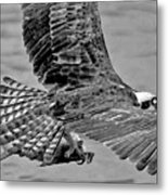 Flight Of The Osprey Bw Metal Print