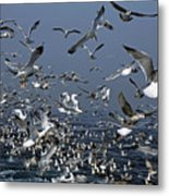 Flock Of Seagulls In The Sea And In Flight Metal Print by Sami Sarkis
