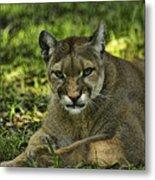 Florida Panther Agitated Metal Print