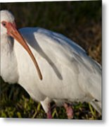 Florida White Ibis  Eudocimus Albus Metal Print