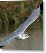 Flying Sea Gull - Eugene Oregon Metal Print