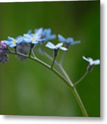 Forget-me-not 2 Metal Print
