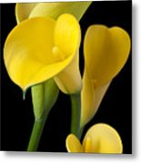 Four Yellow Calla Lilies Metal Print by Garry Gay