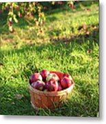 Freshly Picked Apples In The Orchard  Metal Print