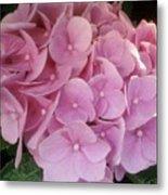 Fwc Beautiful Pink Hydrangea Metal Print