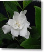 Gardenia Aromatic Metal Print