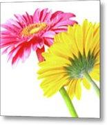 Gerbera Flowers Metal Print by Carlos Caetano