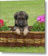 German Shepherd Puppy In Basket Metal Print by Sandy Keeton