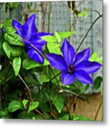 Giant Blue Clematis Metal Print