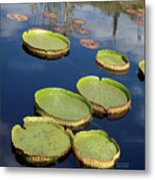Giant Lily Pads Metal Print