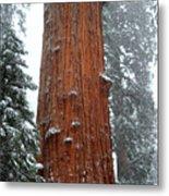 Giant Sequoia Tree Metal Print