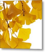 Ginkgo Ginkgo Biloba Leaves In Autumn Metal Print