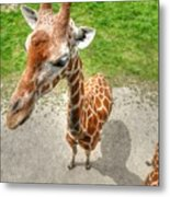 Giraffe's Point Of View Metal Print by Michael Garyet