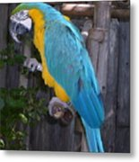 Golden Blue Macaw Metal Print