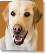 Golden Lab Metal Print